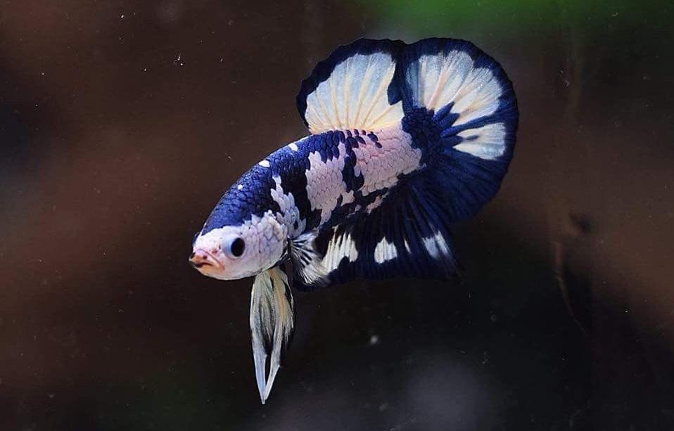 Ikan Cupang Blue Marble - Blue Marble Betta - Ikanhiasku
