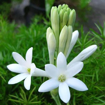 chăm sóc hoa huệ