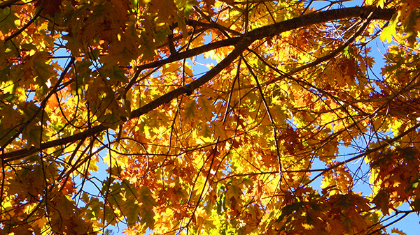 Looking up at bright sky through multicolor oak leaves