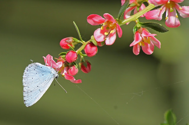 Acrylic print of Small Blue Butterfly for sale