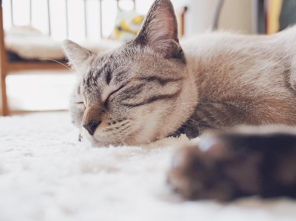 シャムトラ猫の穏やかな寝顔