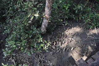 Breathing roots in Sundarbans
