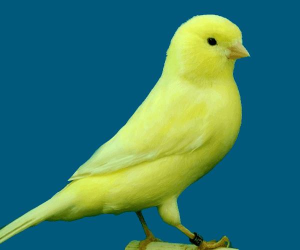 canary_bird_yellow كناري عصفور طائر الكناري الأصفر