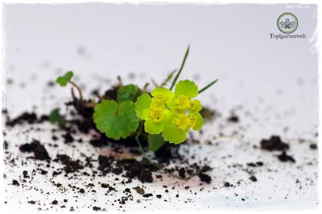 Gartenblog Topfgartenwelt Wird das was oder kann das weg? - Wolfsmilch