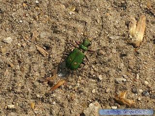 Cicindèle champêtre - Cicindela campestris