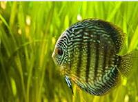 Sejarah Ikan Hias Discus hitam loreng