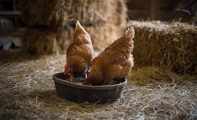 تربية الدجاج اللاحم من الالف الى الياء