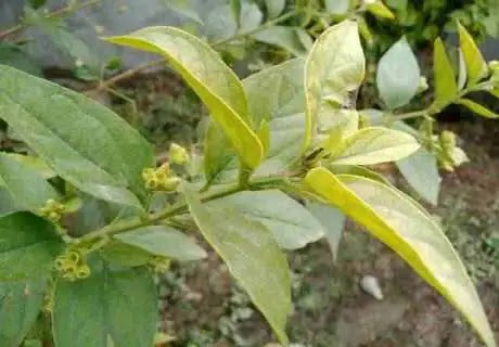 हरसिंगार से गठिया का इलाज और 12 फायदे
