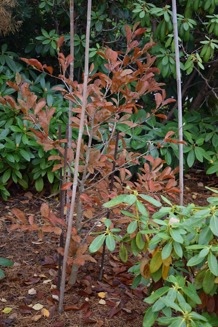 Magnolia loebneri 'Powder Puff'