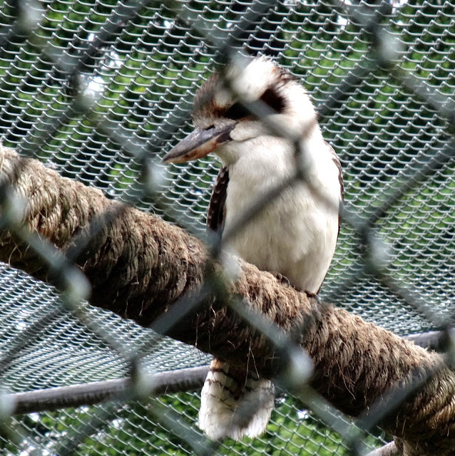 Mr. Kookaburra_Hello