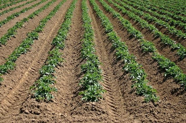 Best Profitable Business for Beginners - Potato Farming