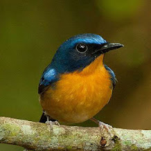 Harga Burung Tledekan Gunung, Kembang, Laut, Bakau Dan Kembang