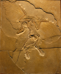 Fosil Nenek Moyang Burung Archeopteryx lithographica