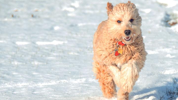 mini-goldendoodle-lifespan
