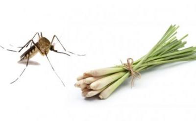 Cách dùng tinh dầu sả đuổi muỗi ra khỏi nhà được nhiều gia đình yêu thích sử dụng vì tính an toàn và hiệu quả cao