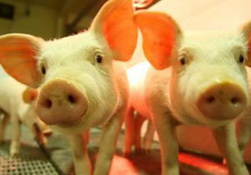 Laporan Penelitian Optimisme Xenotransplantasi Organ Babi Untuk Manusia
