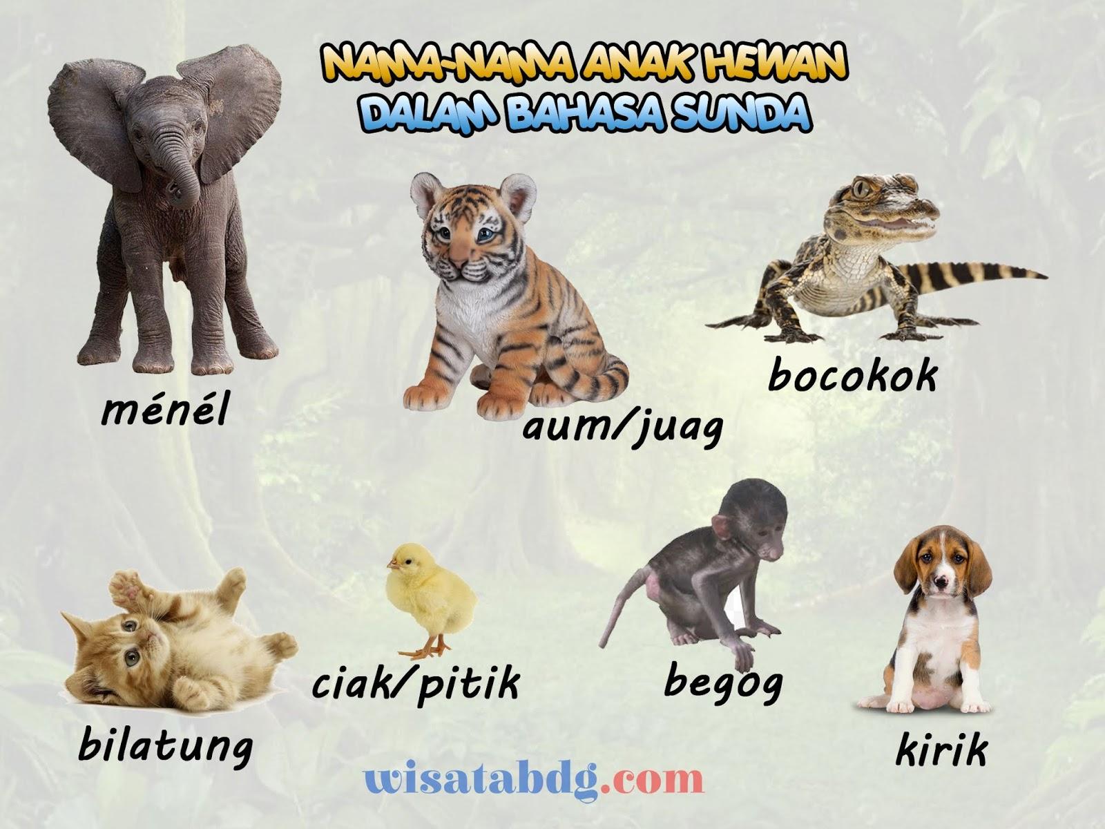 Mengenal Nama Nama Anak Hewan Dalam Bahasa Sunda