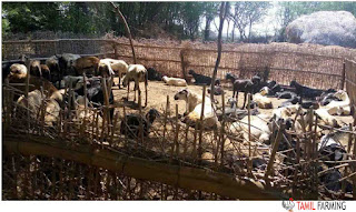 goat farming in Tamilnadu, aadu valarpu, ஆடு வளர்ப்பு, ஆட்டு பண்ணை @tamilfarming