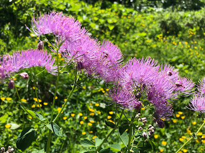 [Ranunculaceae] Thalictrum aquilegifolium – Columbine Mead-Rue (Pigamo colombino).