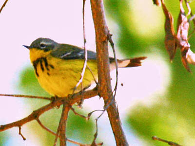 Photo of Magnolia Warbler in tree