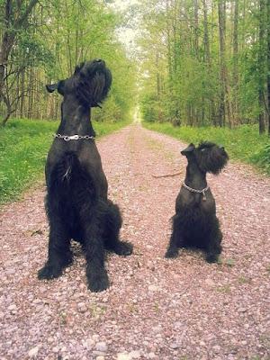 Schnauzer Dog breed personality