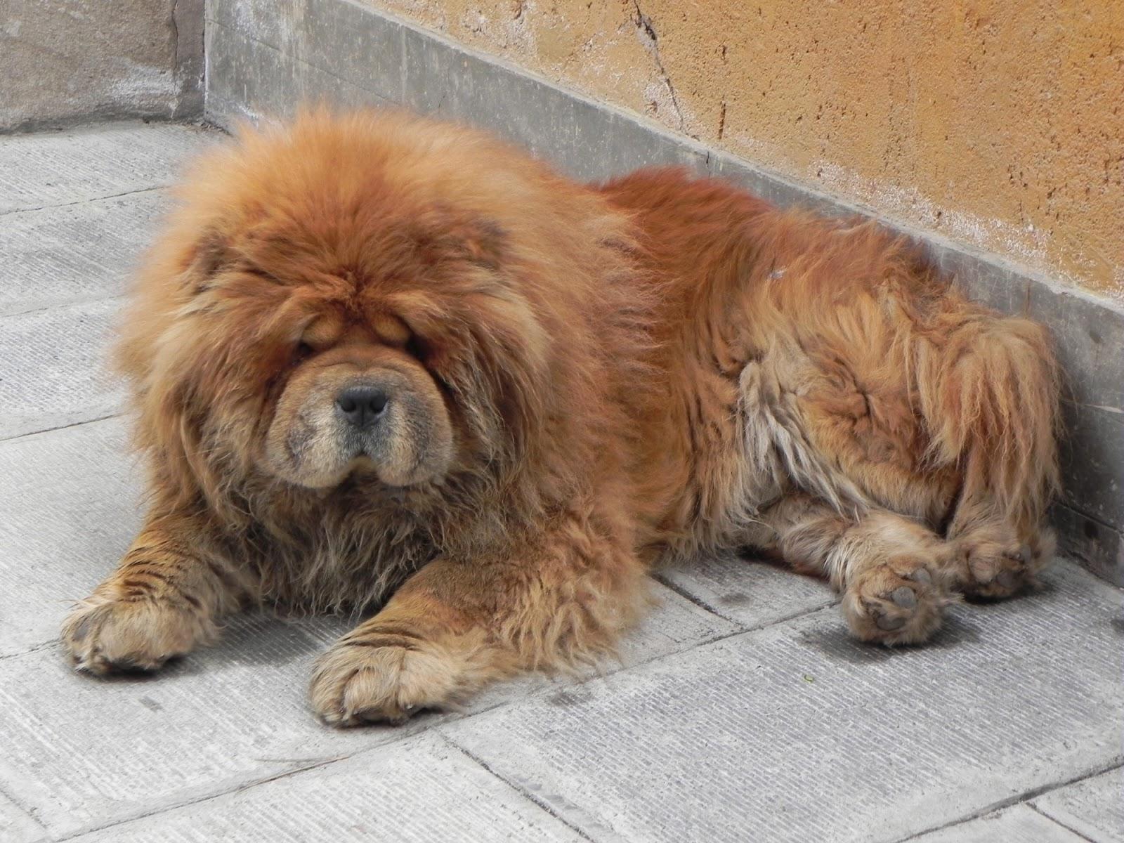 chow chow lion black - photo #27
