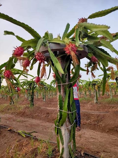 dragon fruit farming in Kenya