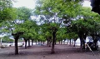 Deretan pohon Santen di Syariah Beach Pusan, Banyuwangi