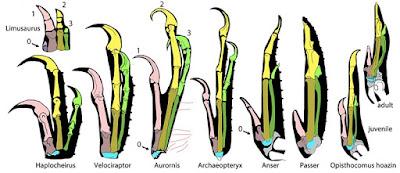 Anatomía comparada de dinosaurios y aves (entre ellos, los hoacines)