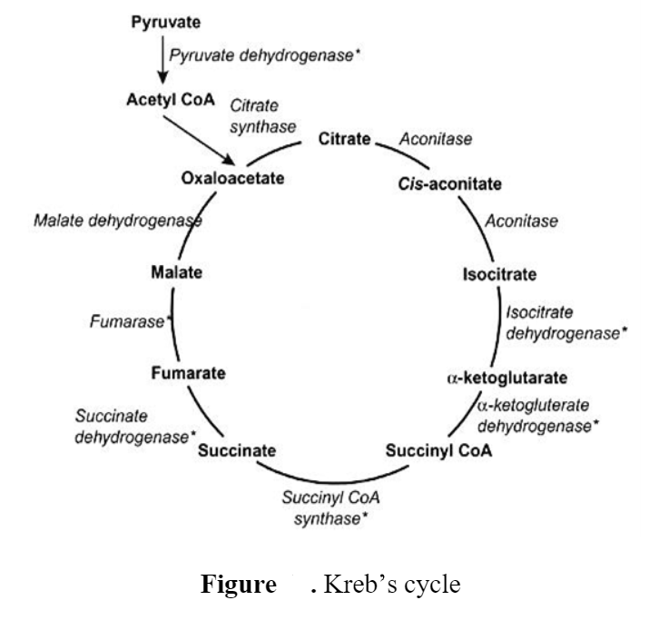 Kreb's cycle/ TCA (Tricarboxylic acid) cycle