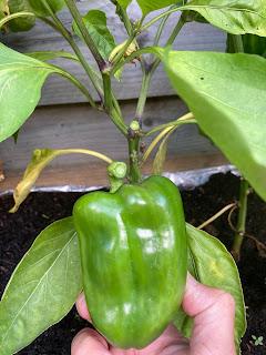 moestuin groene paprika geplukt
