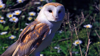 Biological and ecological characteristics of Barn Owl