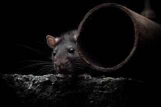 Diubah Menjadi Tikus