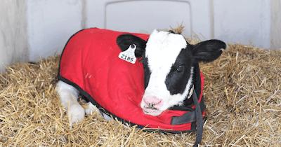 Calf Management in Winter