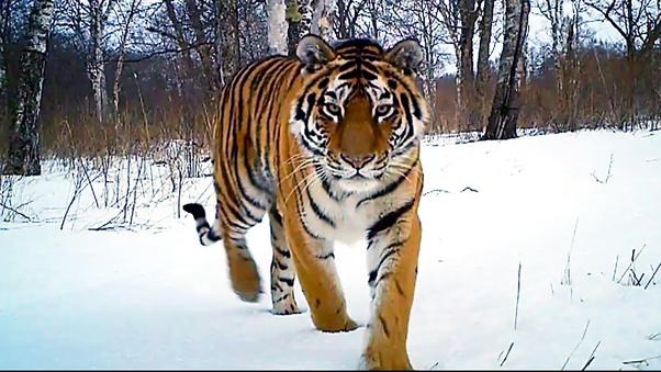 hổ Siberia