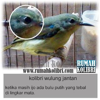 cara membedakan anakan kolibri wulung jantan
