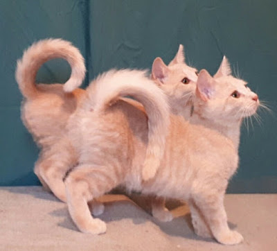 Asak Usul Kucing American Ringtail