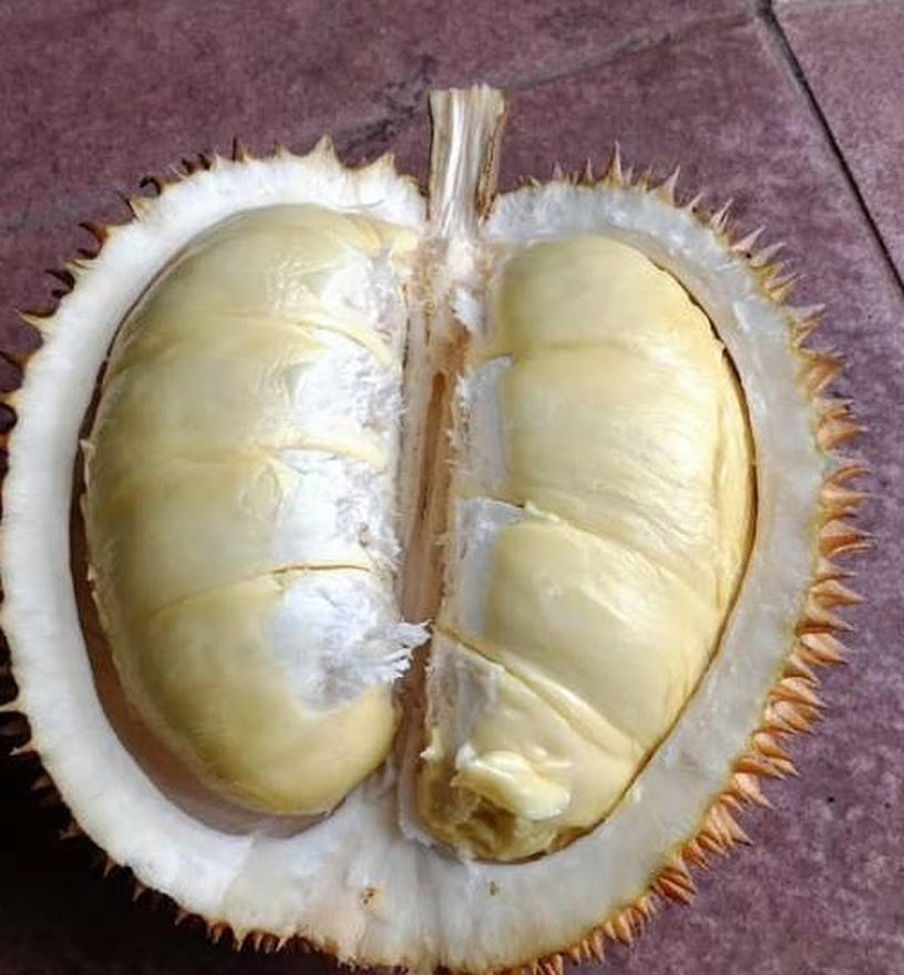 Bibit durian matahari 80 cm Gorontalo