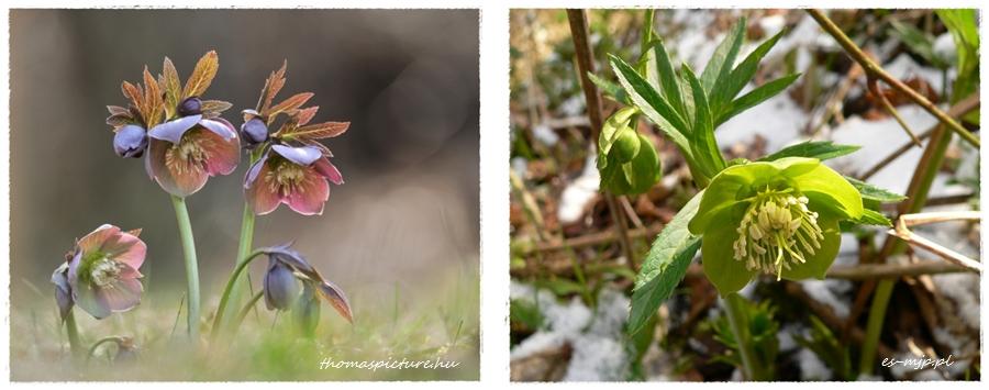 Helleborsus purpurascens, Helleborus viridis