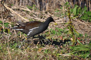 a moorhen bird walking in grass