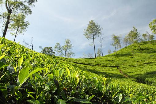 landscape view of Tea Garden