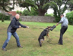 German Shepherd biting a moving canvas roll that the trainer is holding and pulling away
