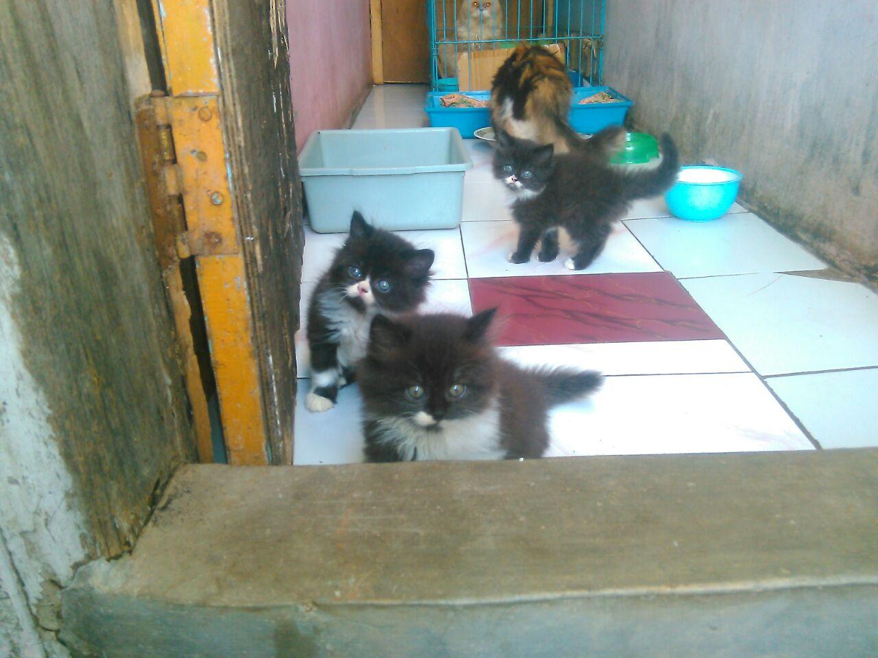 Jual Kitten Persia Medium Cirebon Pecinta Kucing Cirebon