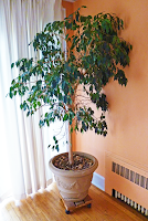 houseplant, weeping fig, ficus, tree