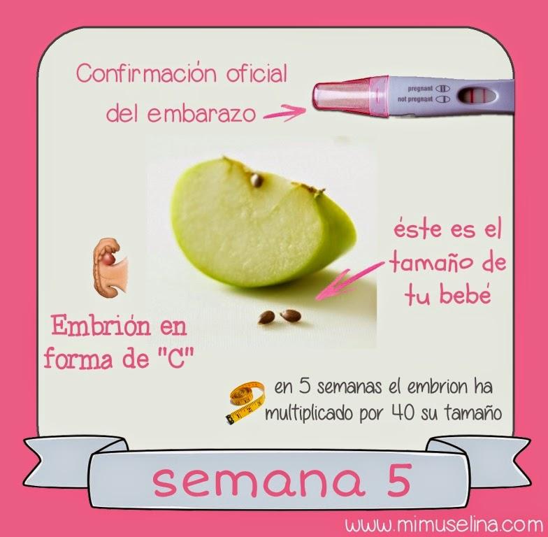 semana 5 embarazo. tamaño fruta embrion bebe mimuselina