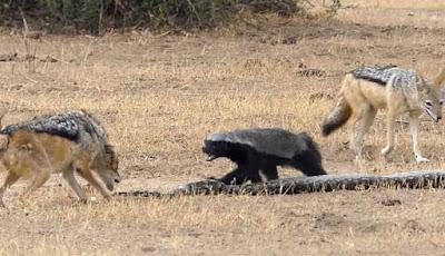 Musang memberikan ancaman kepada serigala