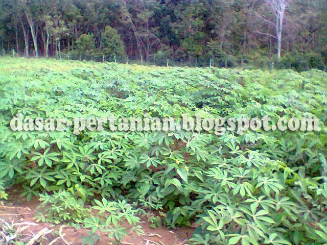 Pupuk merupakan nutrisi penting bagi tanaman yang fungsinya dapat meningkatkan produksi p Jenis-Jenis Pupuk Yang Bagus Untuk Tanaman Singkong