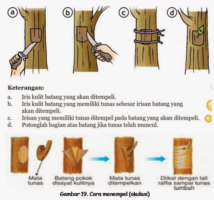 Teknik Dan Cara Okulasi Pohon Mangga Budidaya Tanaman Buah Langka