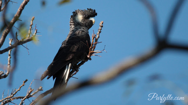 female Carnaby's black cockatoo can be identified by her grey eye rings and pale beak