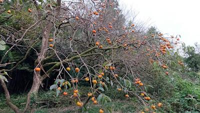 谷津(谷戸)下にあるので、 林と土手に守られた豊作の柿は無事。